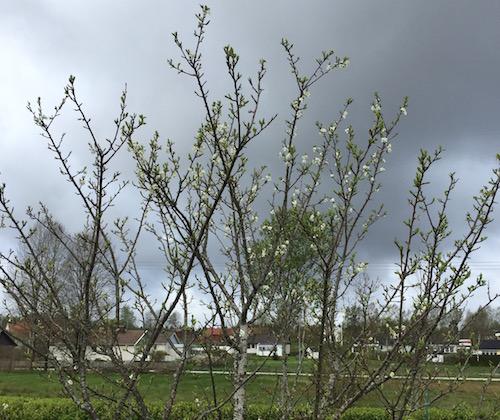 Plom.träd 13 maj